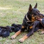 Австралийский келпи с щенками