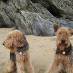 Два Эрдельтерьера на пляже