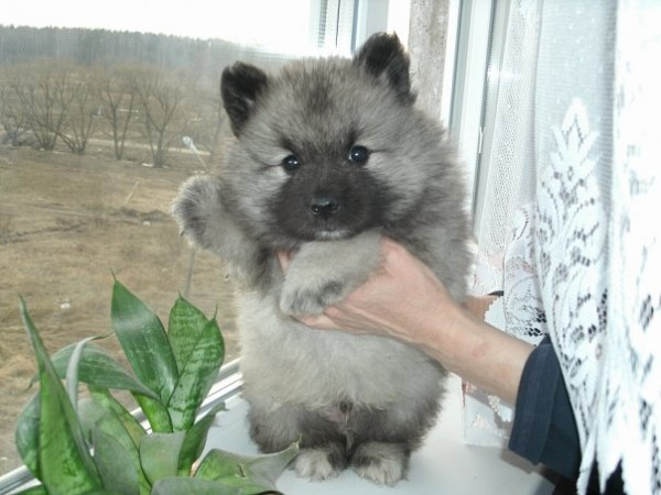 Маленький щенок Кеесхонда