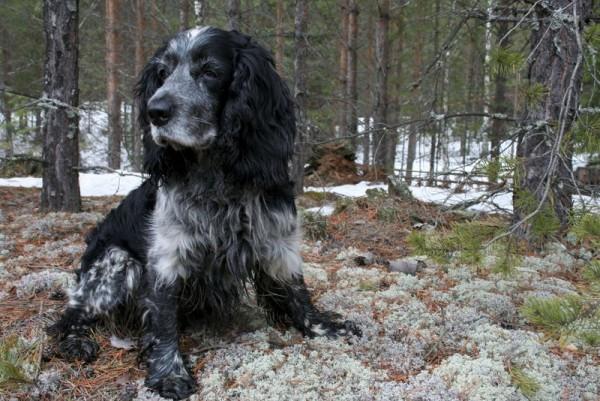 Русский охотничий спаниель в лесу