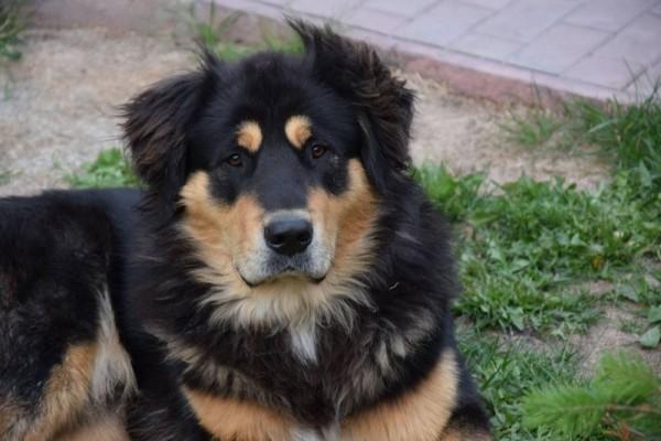 Бурят-монгольский волкодав портрет