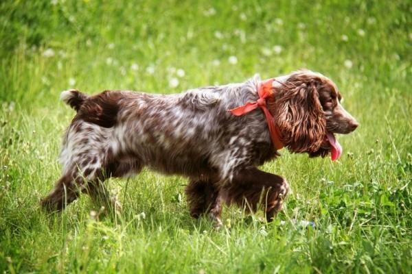 Русский охотничий спаниель: фото и описание породы собак