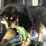 Бурят-монгольский волкодав с тюльпанами