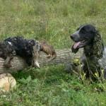 Русский охотничий спаниель после охоты