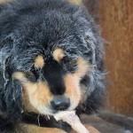 Бурят-монгольский волкодав с косточкой