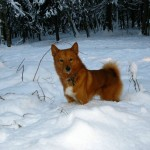 Карело-финская лайка в снегу