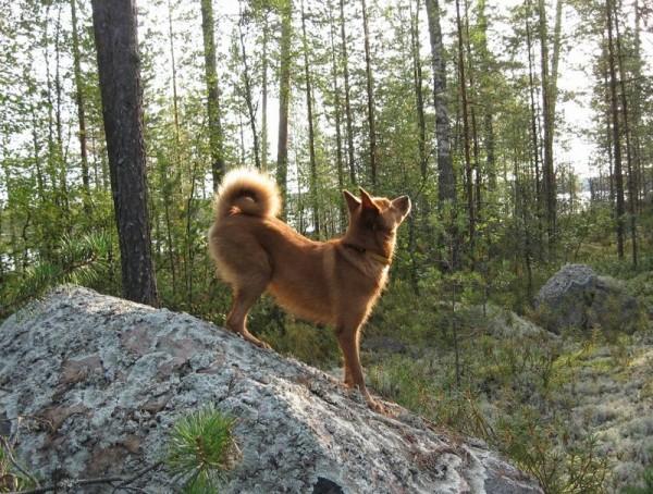 Карело-финская лайка в лесу