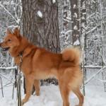 Карело-финская лайка зимой