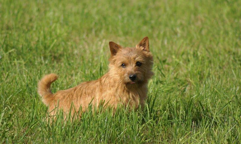 Керн-терьер в траве