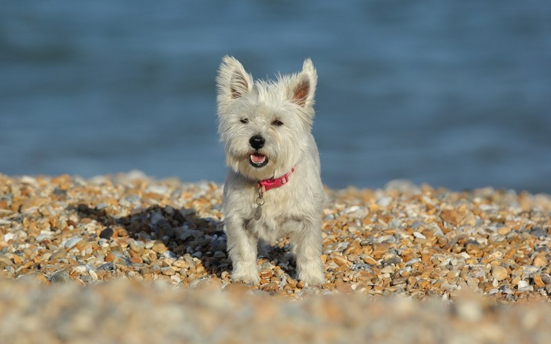 Вест-хайленд-уайт-терьер на пляже