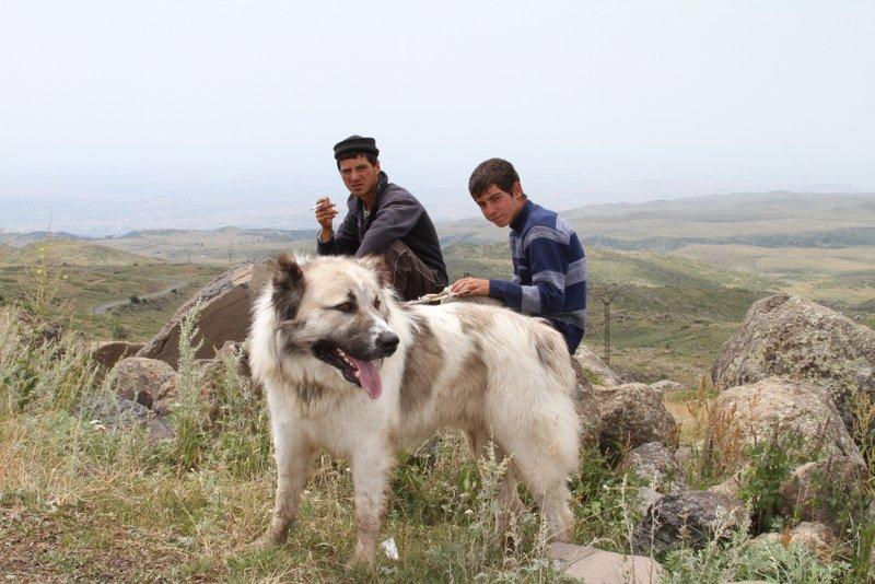 армянский гампр волкодав фото