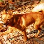 Карело-финская лайка осенью