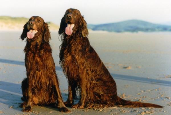 Два ирландских красных сеттера на берегу