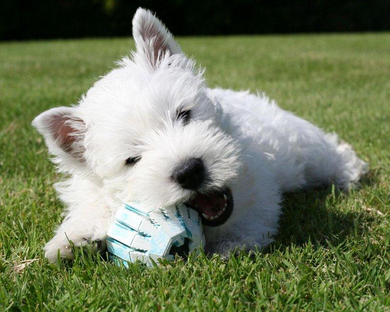 Вест-хайленд-уайт-терьер щенок