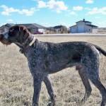 Дратхаар: фото и описание породы собак