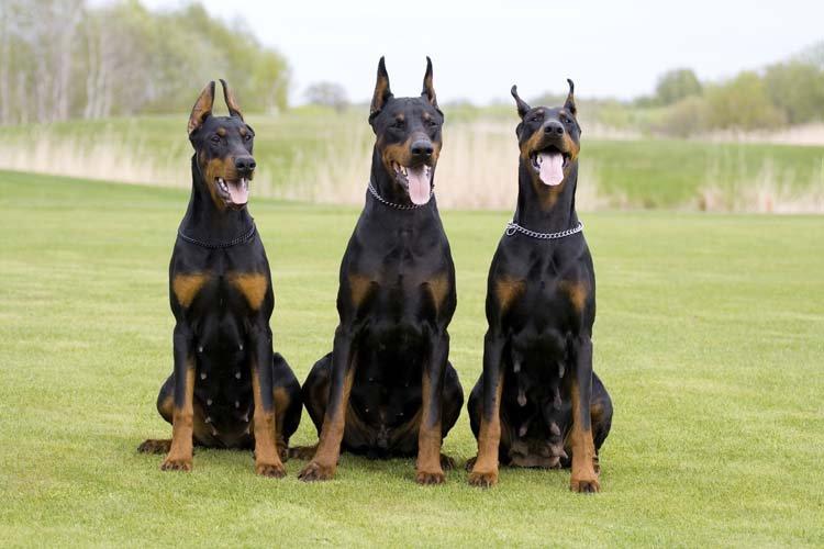 Три добермана