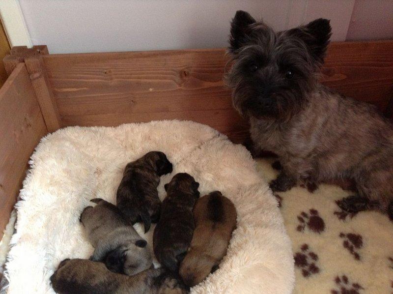 Керн-терьер с щенками