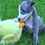 Левретки щенок
