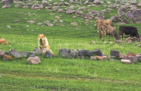 Гампр или армянский волкодав на пастьбе