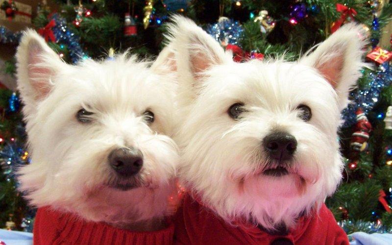 Два Вест-хайленд-уайт-терьера в новый год