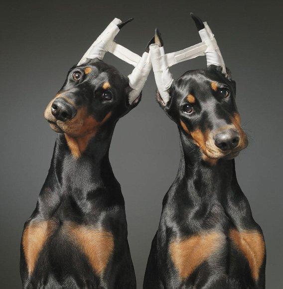 Два щенка добермана с купированными ушками