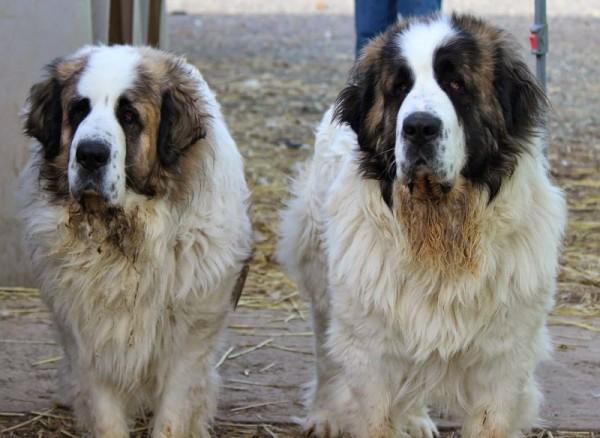 Два Пиренейских мастифа