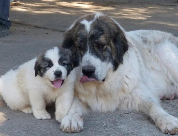Пиренейский мастиф с щенком