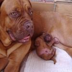 Бордоский дог с маленьким щенком