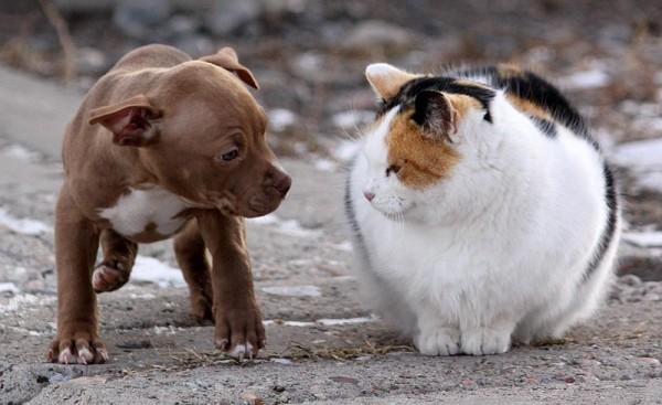 Щенок Американского питбультерьера хочет дружить с кошкой