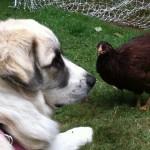 Пиренейский мастиф и курица