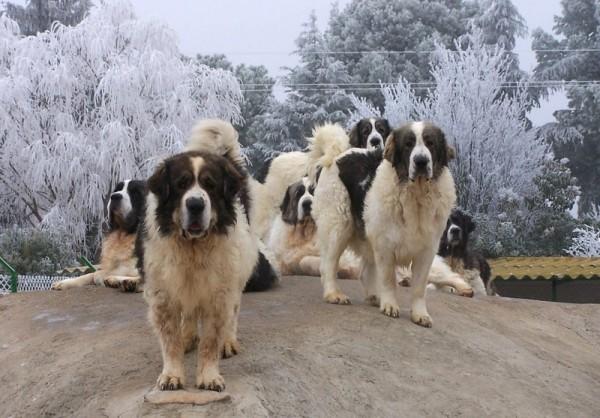 Семейство Пиренейских мастифов