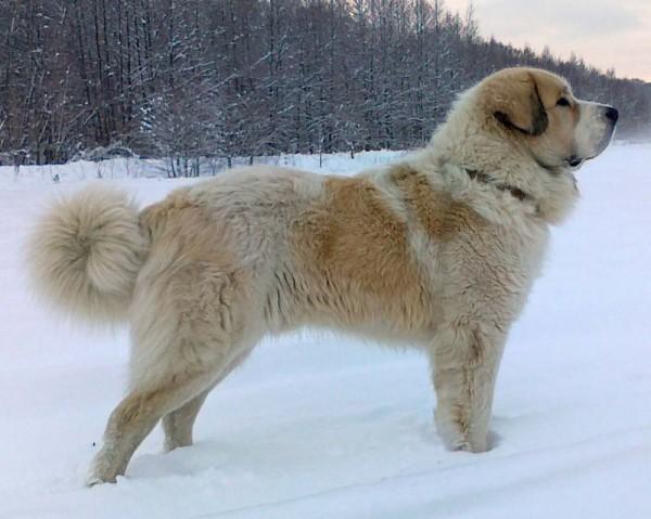Пиренейский мастиф на снегу