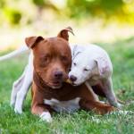 Американский питбультерьер с щенком