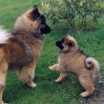 Евразиер с щенком