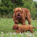 Бордоский дог с щенком на лужайке