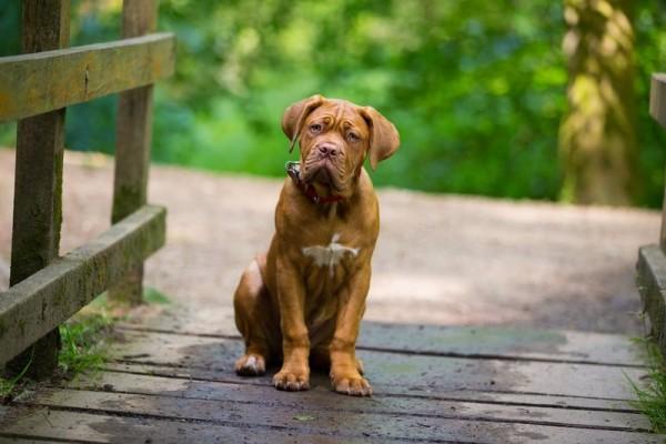 Бордоский дог щенок