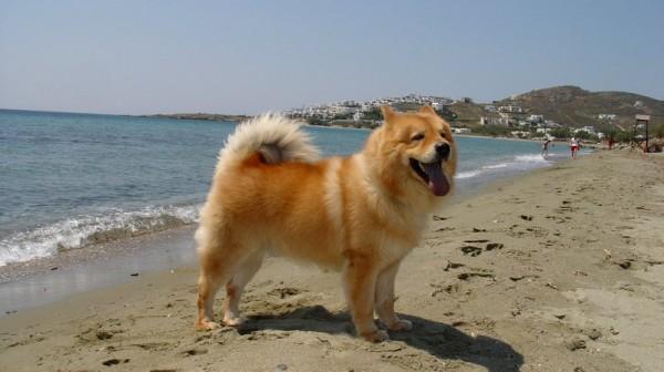 Евразиер на пляже
