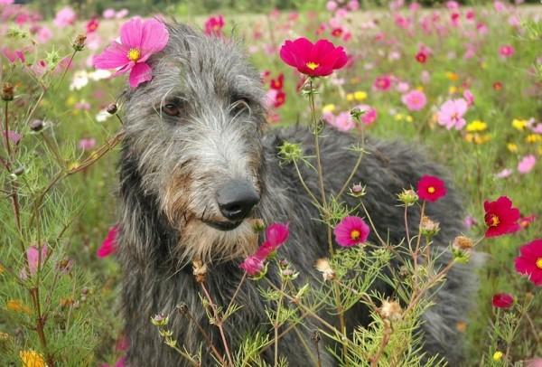 Дирхаунд в цветочках