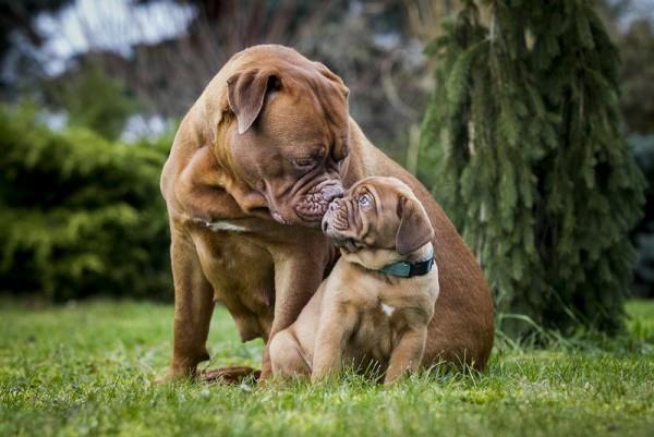 Бордоский дог с щенком