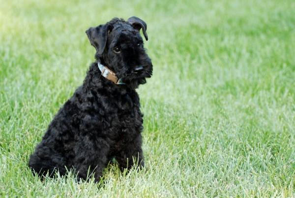Щенок Керри-блю-терьер в траве