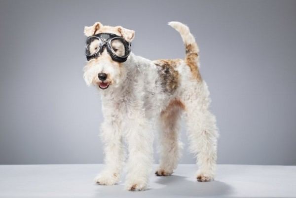 Жесткошерстный фокстерьер в очках