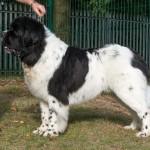 Ландсир порода собак