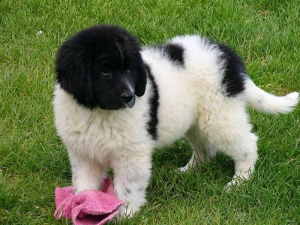 Ландсир щенок на газоне