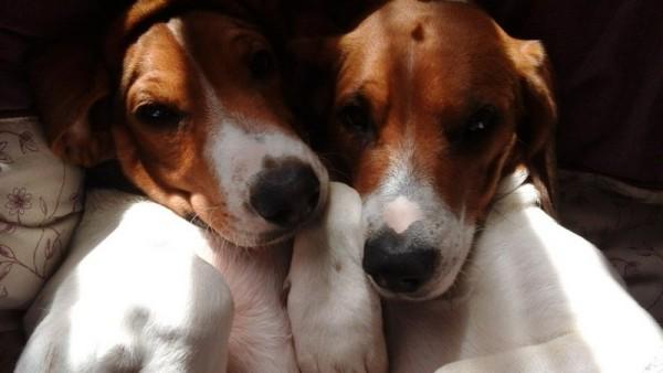 Два щенка эстноской гончей