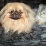 Пекинес с кошкой
