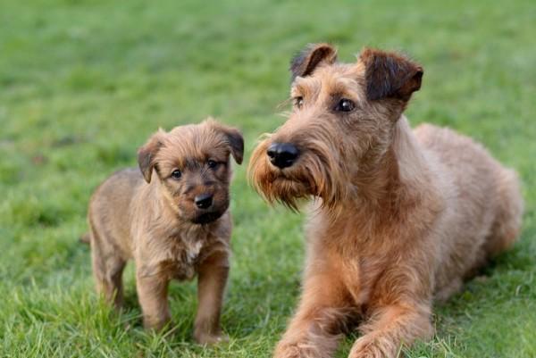 Ирландский терьер и его щенок