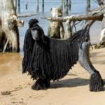 Шнуровой черный пудель