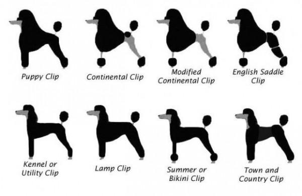 Пудель: фото, описание породы и виды собак по размерам