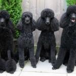 Семейство черных пуделей