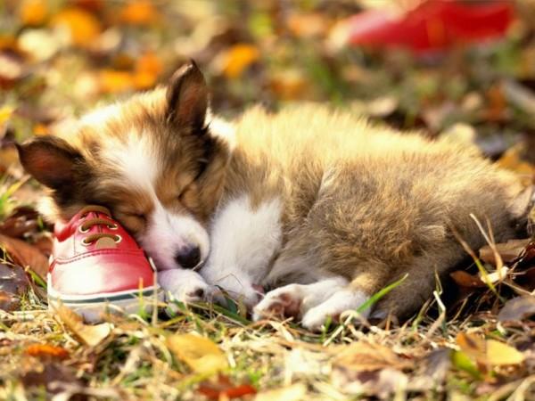 Щенок Шелти уснул на кроссовке